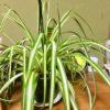 寝室に観葉植物のオリヅルランを置いたら気分が良い^ ^空気まで良い