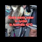 Koala wants water to cyclist in Australia 40℃