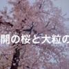 満開の桜と大粒の雪の動画をご堪能ください