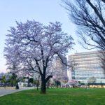 中野セントラルパークサウスは桜が良いか感じに咲いています!2020年3月23日