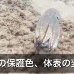 タコの保護色、体表の変化を捉えた動画